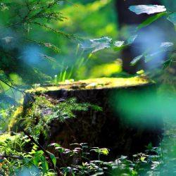 padure-izvorul-olt-harghita