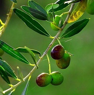 masline-copac